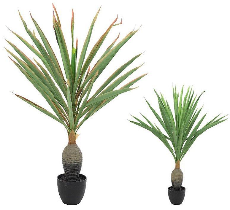 Φυτό Yucca
